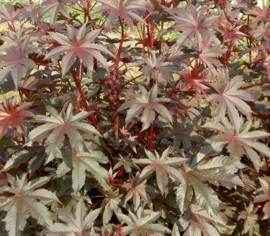 Ricinus Red Giant