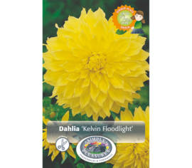 Dahlia Kelvin Floodlight (Dinnerplate) (1 unité)