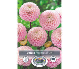 Dahlia Wizard of Oz (Pompon) (1 unité)