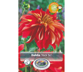 Dahlia Nick Sr. (Dinnerplate) (1 unité)