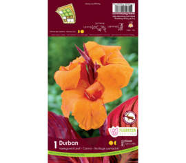 Canna Durban (Orange) (Panaché) (1 unité)