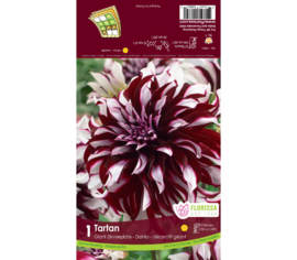 DAHLIA TARTAN GIANT DINNERPLATE