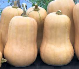 Courge Ponca Baby Butternut Biologique