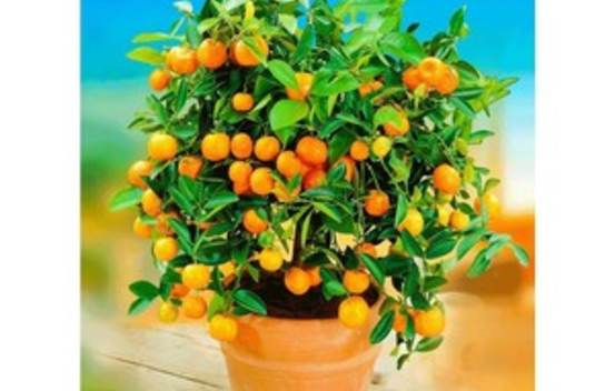 Calamondin (Citrofortunelle)