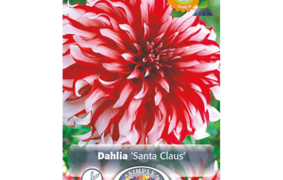 Dahlia Santa Claus (Dinnerplate) (Paquet de 2)