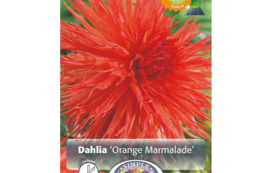 Dahlia Orange Marmelade (Fimbriata) (1 unité)