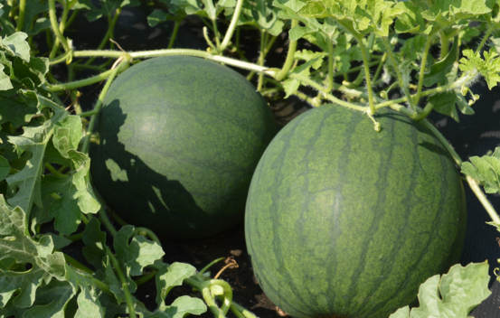 Melon d'eau Blacktail Mountain Biologique