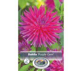Dahlia Purple Gem (Cactus) (1 bulbe)