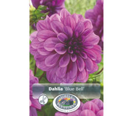 Dahlia Blue Bell (Décoratif) (1 bulbe)