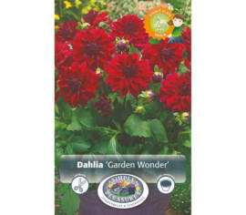 Dahlia Garden Wonder (Dinnerplate) (1 bulbe)