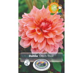 Dahlia Otto's Thrill (Dinnerplate) (1 bulbe)