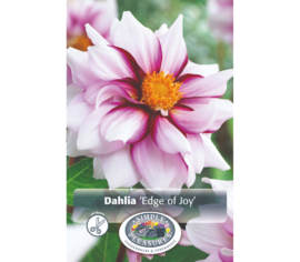 Dahlia Edge of Joy (Mignon) (1 bulbe)