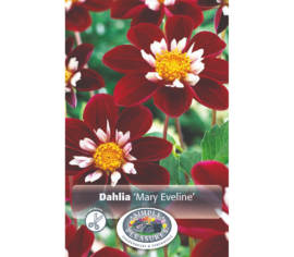 Dahlia Mary Evelyn (Mignon) (1 bulbe)