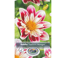 Dahlia Fashion Monger (Mignon) (1 bulbe)