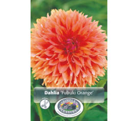 Dahlia Fubuki Orange (Fimbriata) (1 bulbe)