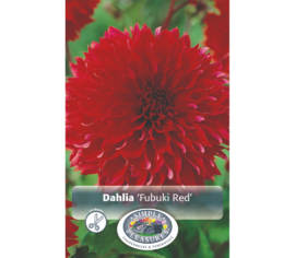 Dahlia Fubuki Red (Fimbriata) (1 bulbe)
