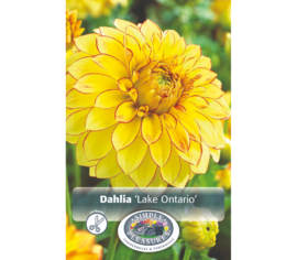 Dahlia Lake Ontario (Décoratif) (1 bulbe)