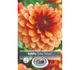 Dahlia Lake Tahoe (Décoratif) (1 bulbe)