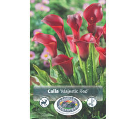 Calla Majestic Red (1 bulbe) (taille : 14/16 cm)