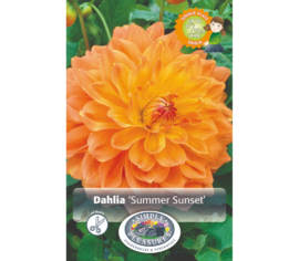 Dahlia Summer Sunset (Dinnerplate) (Paquet de 2 bulbes)