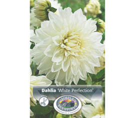 Dahlia White Perfection (Décoratif) (1 bulbe)