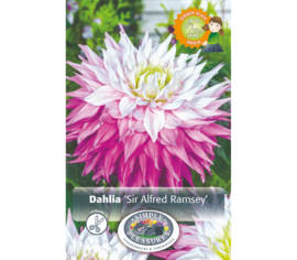 Dahlia Sir Alfred Ramsey (Dinnerplate) (1 bulbe)