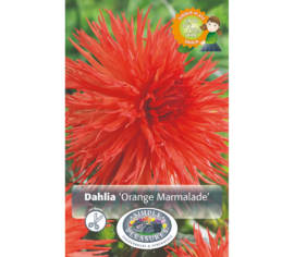 Dahlia Orange Marmelade (Fimbriata) (1 bulbe)