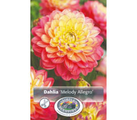 Dahlia Melody Allegro (Décoratif) (1 bulbe)