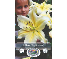Lys Big Brother (Oriental) (Paquet de 2) (taille : 16/18 cm)