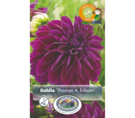 Dahlia Thomas A. Edison (Dinnerplate) (Paquet de 2 bulbes)