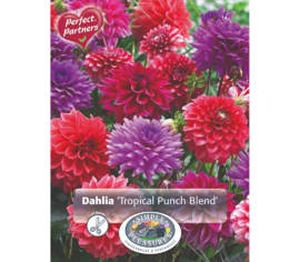 Dahlia Tropical Punch Blend (Mélange Perfect Partners) (Paquet de 3 bulbes)