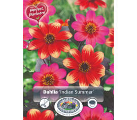 Dahlia Indian Summer (Mélange Perfect Partners) (Paquet de 2 bulbes)