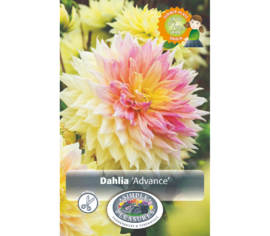 Dahlia Advance (Dinnerplate) (Paquet de 2 bulbes)