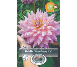 Dahlia Strawberry Ice (Dinnerplate) (1 bulbe)