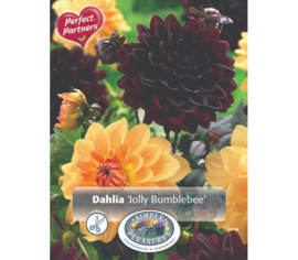 Dahlia Jolly Bumblebee (Mélange Perfect Partners) (Paquet de 2 bulbes)