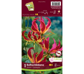 Gloriosa Rothschildiana (1 bulbe)