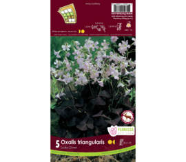 Oxalis Triangularis (Paquet de 5 bulbes)