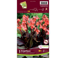 Canna Novelty Angelique (Pêche-Rose) (Dwarf) (1 bulbe)
