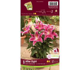 Lys After Eight (Oriental de patio) (1 bulbe)