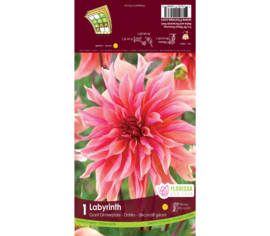 Dahlia Labyrinth (Dinnerplate) (1 bulbe)
