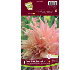 Dahlia Penhill Watermelon (Dinnerplate) (1 bulbe)