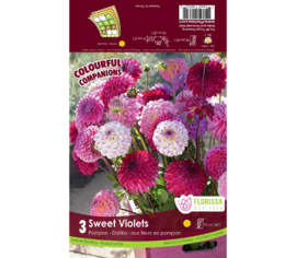 Dahlia Sweet Violets - Pompon Mix (Mauve & Blanc) (Eveline, Lenny's Dream, Little Robert & Sandra or
